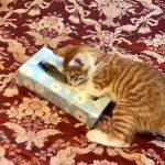 仔猫のガブちゃん*ティッシュの空き箱