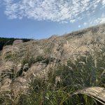 今が見頃!!黄金色に輝く仙石原すすき草原